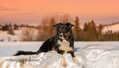afternoon (Flemming Andersen) Tags: sunset pet nature dog bordercollie outdoor snow yatzy hund animal