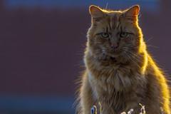 Photo Bombing (Sarah Fraser63) Tags: cats cat feline gingercat animal pets light morninglight