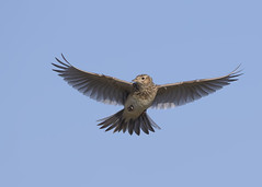 Skylark (alauda arvensis) (Steve Ashton Wildlife Images) Tags: common skylark commonskylark lark eurasian eurasianskylark alauda arvensis alaudaarvensis