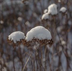 Snow Cone. (Omygodtom) Tags: tamron tamron90mm meadow snow nature natural d7000 dof bokeh oregon scene season flora flickriver