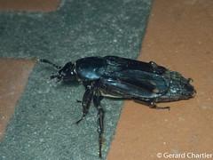 Diamesus osculans (GeeC) Tags: diamesusosculans tatai animalia nature cambodia coleoptera kohkongprovince diamesus insecta staphylinoidea silphidae arthropoda beetles rovebeetles ឃុំឫស្សីជ្ kohkong ឃុំឫស្សីជ្រុំ kh