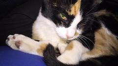 Gizme bebé (Humberto Caldera) Tags: cat kitty gat gata gato animal pet