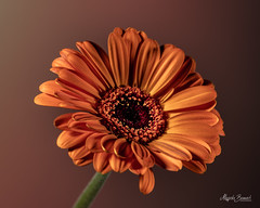 Orange gerbera (Magda Banach) Tags: canon canon80d sigma150mmf28apomacrodghsm colors flora flower gerbera macro nature orange plant plants