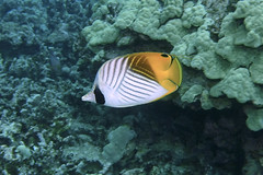 line by line (BarryFackler) Tags: butterflyfish kikakapu fish sealife animal fauna seacreature marinelife pacificocean undersea 2019 aquatic threadfinbutterflyfish cauriga chaetodonauriga zoology coralreef creature vertebrate coral bay being biology bigisland barryfackler barronfackler bigislanddiving nature marineecology marine marinebiology marineecosystem water westhawaii life reef reeffish tropical underwater wildlife saltwater diver island organism polynesia scuba outdoor kona honaunaubay ocean pacific sea sealifecamera sandwichislands seawater diving dive hawaii hawaiiisland hawaiicounty honaunau hawaiidiving hawaiianislands konacoast konadiving explore explored inexplore
