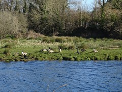 Canadas and Cormorants (Phil Gayton) Tags: water meadow bird reed tree cormorant phalacrocoraxcarbo canada goose brantacanadensis snipe island river dart totnes devon uk