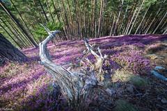 dragon in a sea of  spring heath (Tschissl) Tags: austria blüten spring frühling location wald steiermark leobenumgebung österreich