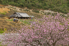 _J5K5823.0212.Lóng Luông.Vân Hồ.Mộc Châu.Sơn La (hoanglongphoto) Tags: asia asian vietnam northernvietnam northwestvietnam landscape scenery vietnamlandscape vietnamscenery spring springinvietnam mocchaulandscape mocchauscenery flower peachblossom home house canon canoneos1dsmarkiii canonef70200mmf28lisiiusm tâybắc sơnla mộcchâu vânhồ lóngluông phongcảnh phongcảnhmộcchâu mùaxuân mùaxuânmộcchâu springinmocchau hoa hoađào ngôinhà