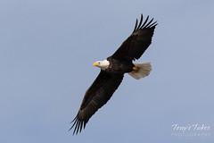 January 6, 2019 - A bald eagle over the South Platte. (Tony's Takes)