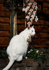 erste Erkundungen (A.K. 90) Tags: garden cat katze animal tier pet haustier white weis sunny sonnig sun sonne wood holz sonyalpha6300 e18135mm3556oss