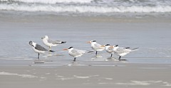 Gulls and Royal Tern (MJ Harbey) Tags: sea ocean newsmyrnabeach sand beach atlanticocean aves laridae thalasseusmaximus gulls nikon d3300 nikond3300 florida usa