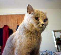 Mia, the queen of all she surveys, April 2019 (alljengi) Tags: mia britishshorthair britishblueshorthair britishshorthaircat cat 2019 bsh bedroom leith