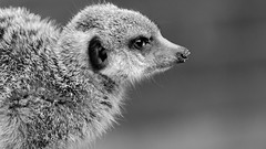 Do I Look Mean Enough? (Alfred Grupstra) Tags: animal meerkat wildlife mammal nature animalsinthewild mongoose snout alertness cute africa standing fur small oneanimal carnivore brown looking younganimal closeup