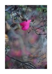 2018/12/9 - 15/21 photo by shin ikegami. - SONY ILCE‑7M2 / Voigtlander NOKTON CLASSIC 40mm f1.4 SC VM (shin ikegami) Tags: flower 花 山茶花 マクロ macro 井の頭公園 吉祥寺 winter 冬 sony ilce7m2 sonyilce7m2 s7ii 40mm voigtlander nokton nokton40mmf14sc tokyo photo photographer 単焦点 iso800 ndfilter light shadow 自然 nature 玉ボケ bokeh depthoffield naturephotography art photography japan earth asia