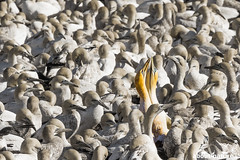 Cape gannet (about-nature) Tags: 05genusmorus classaves classbirds continentafrica familietölpel familysulidae gattungmorus kaptölpel klassevögel kontinentafrika ordersuliformes ordnungsuliformes speciescapegannet speciesmoruscapensis lambertsbay westerncape südafrika za