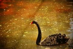 Black Swan (Kamal Swain) Tags: photography birdphotography birdlover bird naturelover wildlifephotography wild wildlifeindia