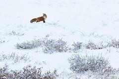 Red Fox - Alaskan Arctic (www.studebakerstudio.com) Tags: red fox alaskan arctic redfox mammal nature wildlife studebaker dalton