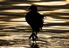 black coot 30082017 (1) (Martin Ettlinger) Tags: blackcoot fulicaatra water lake backlight tegelersee 2017 berlin germany bird vogel wildanimal wildlife wildlifephotography beautiful outdoors