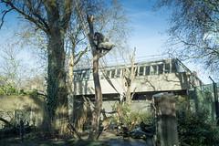 2019-01-18-12h47m46.IMG_3367 (A.J. Haverkamp) Tags: akili bembosi canonefm1855f3556isstmlens amsterdam zoo dierentuin httpwwwartisnl artis thenetherlands gorilla pobfrankfurtgermany dob16101994 pobamsterdamthenetherlands dob31052011 boom tree