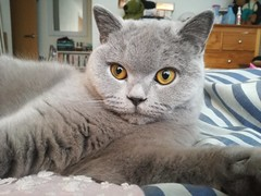 Mia, March 2019 (alljengi) Tags: britishshorthair britishblueshorthair britishshorthaircat cat 2019 mia bedroom bed towerplace