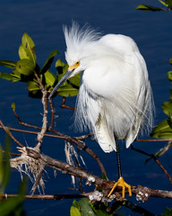 Lookin' Sharp (Mark Schocken) Tags: egrettathula snowyegret dingdarlingnwr schockenphotography