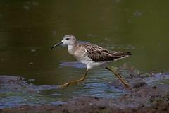 Calidris pugnax Guatemala 131218 AVrc (alapi973) Tags: southamerica calidrispugnax oiseau bird guyane frenchguiana neotropical shorebird panasonicdmcgx80 leicadg100400f4063