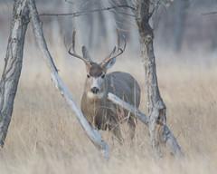 Mule Deer-34 (trdunn) Tags: wildlife deer muledeer buck weldcounty colorado antlers