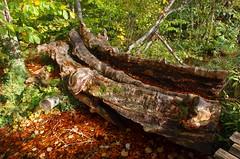 Old wood (sfryers) Tags: plitvicelakes plitvičkajezera nationalpark forest trees wood log unesco worldheritagesite autumn leaves croatia hrvatska smc pentaxda 15mm 14 limited