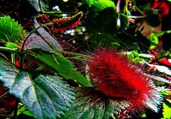 Fuzzy Plant IMG_9214 (ForestPath) Tags: macromondaygroup themepickawordfromeachlist plant flower fuzzy soft