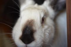 Lady (Emese's Dolls) Tags: rabbit bunny cute pet pets