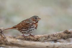 Fox Sparrow-40821.jpg (Mully410 * Images) Tags: birdwatching birding winter backyard bird birds sparrow foxsparrow snow birder snowing