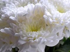 White Chrysanthemum (rustyruth1959) Tags: indoor flower plant bunch closeup macro bloom nature whitepetals petals whiteflowers flowers home yorkshire england uk sigma105mmmacro nikond5600 nikon chrysanthemum getty