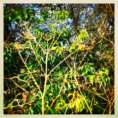 Skeletal Stems (Julie (thanks for 9 million views)) Tags: green 2019onephotoeachday hggt foliage 100xthe2019edition 100x2019 image26100 squareformat hipstamaticapp hedgerow ivy leaves winter wexford ireland irish hogweed umbellifer huw