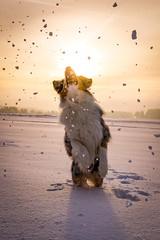 jump into the sun (A.K. 90) Tags: outside dog dogs aussie australianshepherd rüde hund drausen schnee snow cold kalt sunshine sun sonne sonnenschein morning action jump play spiel sprung pet haustier winter sonyalpha6300 e18135mmf3556oss