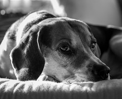 Lucky (LuckyMeyer) Tags: bw hund haustier white brown black pet dog beagle