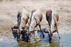 Three Beasts (DEARTH !) Tags: africa krugernationalpark wildebeast dearth safari southafrica travel animals