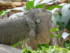 Iguane vert (Jean-Daniel David) Tags: animal reptile saurien iguane closeup grosplan vert verdure lézard france drôme pierrelatte profil nature rhônealpes