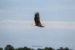 Bald Eagle in flight (psdenbow) Tags: baldeagle blackwaternwr maryland canon tamron tamron150600