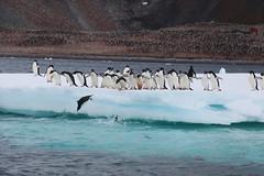 IMG_3562 (y.awanohara) Tags: adelie adeliepenguins penguins antarctica antarcticpeninsula wildlife january2019 icebergs ice icefloes
