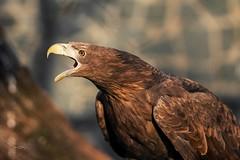 White tailed Sea Eagle (THW-Berlin) Tags: seeadler birds eagles vögel greifvögel animals tiere nature sony alpha6500 sigma 135mm sea eagle