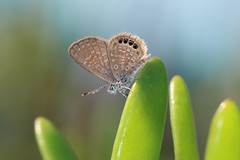 Eastern Pygmy-Blue (Brephidium pseudofea) (Douglas Heusser Photography) Tags: brephidium pseudofea eastern pygmyblue butterfly insect arthropod lepitoptera lepidoptery canon macro photography 100mm lens nature wildlife exploring heusser photo florida key largo coast tropical