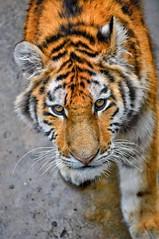 Siberian Tiger (DjacksonXZPhotography) Tags: tierparkberlin berlin zooanimals zoophotography photography tiger wildlifephotography bigcat cat mammal