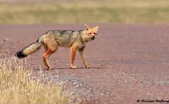 Andean Fox (Lycalopex culpaeus) - Reserva Antisanilla, EC (bcbirdergirl) Tags: andeanmountains andes antisanaecologicalreserve andeanfox culpeozorro fox mammal ecuador southamerica napoprovince quito antisanavolcano eastslope lycalopexculpaeus zorroculpeo culpeo reservaantisanilla pichincha