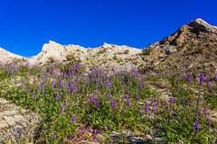 Lots of Lush Lavender Lupines (slworking2) Tags: anzaborrego anzaborregodesertstatepark desert flowers wildfires lupine blooms purple borregosprings california unitedstatesofamerica us lupinusarizonicus