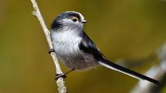 DSC_8666 Mésange à longue queue (sylvettet) Tags: mésangeàlonguequeue oiseau animal 2019 longtailedtit aegithaloscaudatus bird branche nature