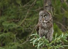 Great Gray Owl...#23 (Guy Lichter Photography - 4.7M views Thank you) Tags: canon 5d3 canada alberta wildlife animal animals bird birds owl owls greatgrayowl