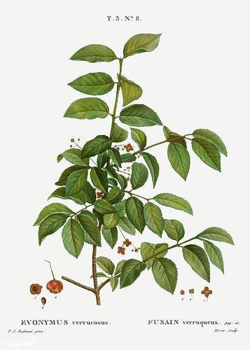 Spindle (Evnymus verrucosus) illustration from Traité des Arbre