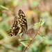 Citrus Swallowtail (Paoilio demodicus)