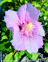 Hibiscus syriacus - Rose of Sharon (Black Diamond Images) Tags: appleiphonex iphonexbackcamera iphonex iphone hibiscus hibiscussyriacus commonhibiscus malvaceae exotic purpleflowers purplefp tareensw taree purplehibiscus councilnursery midcoastcouncilnursery roseofsharon