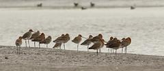 (jopieborst) Tags: vogels grutto godwit wildlife vogelfotografie natureshot canon400mmf56