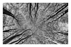fisheye forest (Francis Mansell) Tags: tree plant beech fisheye forest wood woodland fagussylvatica eppingforest monochrome blackwhite niksilverefexpro2